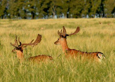 ciervos con belbet