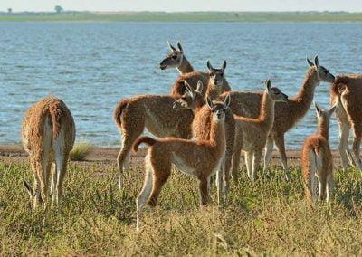 manada de guanacos